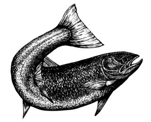 highly detailed sketch of a salmon