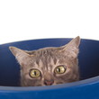 Tabby Cat with Crooked Nose in a Bucket