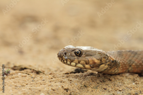 Natrix in sand