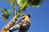 Pruning a Palm Tree, High Up