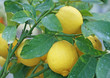 cultivation of  lemon in Sicily in Italy