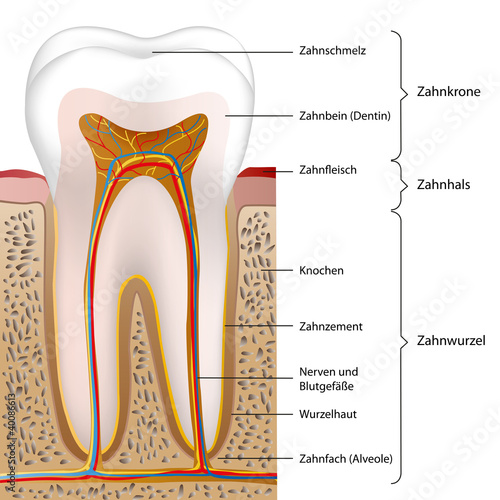 schematic human tooth vector illustration eps10