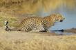 Male leopard drinking water
