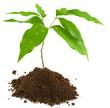 jeune arbre (letchi)