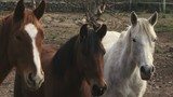 Horses looking at camera in farm