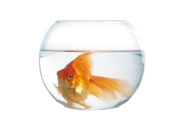 gold fish in spherical aquarium