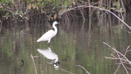 Great white egret on the mangrove swamp in The Gambia