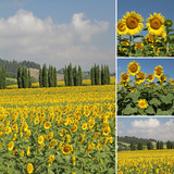 collage with flowering sunflowers filed