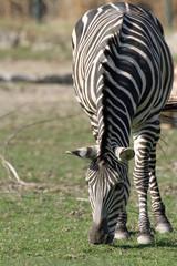 1203016 - Böhm-Zebra