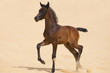 Dark brown arabian foal in desert