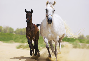 White arabian mare with her brown baby galloping
