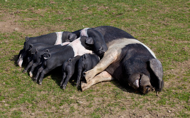 Saddleback pig with piglets feeding