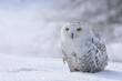 snowy owl sitting on the snow