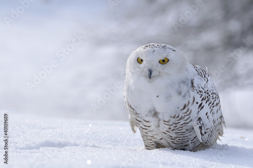 Keuken foto achterwand Uil snowy owl sitting on the snow
