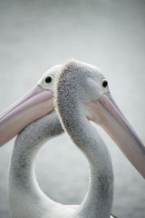 Pelican, two opposing heads close-up.