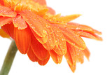 Fototapety abstract of orange gerbera on white