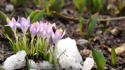Crocus blooming in spring with a bee