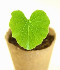 Pflanze 26a