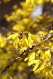 Forsythia_cespuglio dai fiori gialli poster