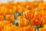 Orange tulip in spring