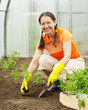 woman planting tomato seedling