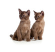 Burmese cats sitting on white