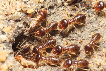 termite soil