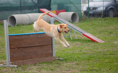 cane in agility