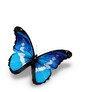 Morpho blue butterfly , isolated on white background