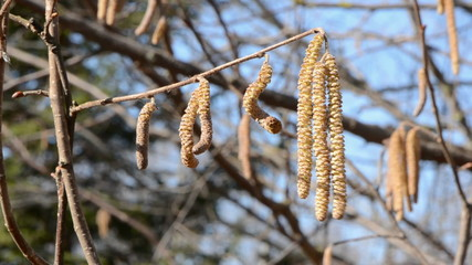 nutwood catkins in the spring wind