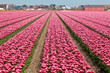 Vinous tulip field in Holland