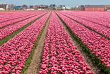 Vinous tulip field in Holland