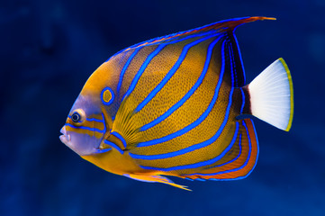 Bluering angelfish