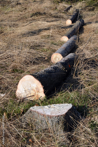 Tree logs cut in line, spruce stump