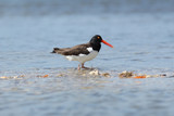 American Oystercatcher Wading in a Shallow Bay - Florida poster