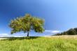 Fototapeten,apfelbaum,baum,obstbäume,äpfel