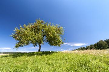 Apfelbaum im Sommer