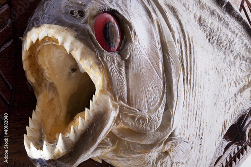 Piranha fish close up