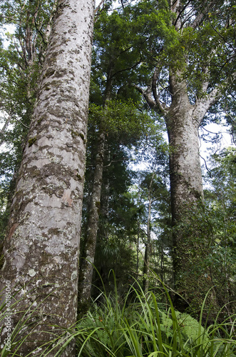 Kauri Puketi Forest, NZ