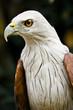 Beautiful portrait of a Peregrine Falcon.