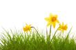 Blumenwiese,Narzissen