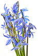 scilla  - blue spring flowers