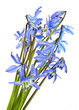 scilla  - spring flowers on white background