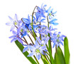 scilla  - blue spring flowers on white background