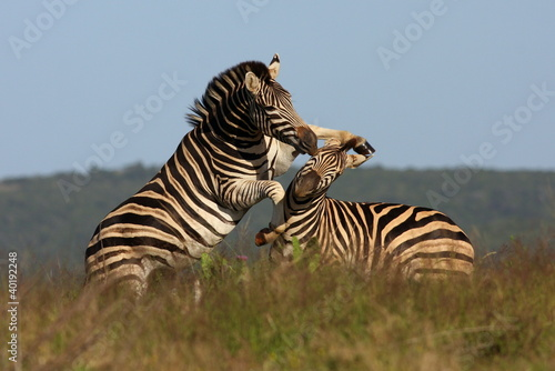 Zebra's fighting