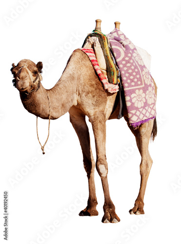 A happy, grinning camel isolated in profile