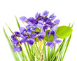 violets in a grass and white background