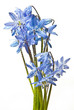 scilla  - blue spring flowers with dew drops