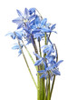 scilla  - blue spring flowers with rain drops
