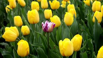 One purple tulip among all yellow tulips field